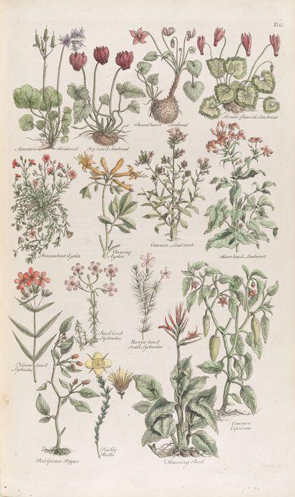 John Hill~The British Herbal, Plate - Artmaster