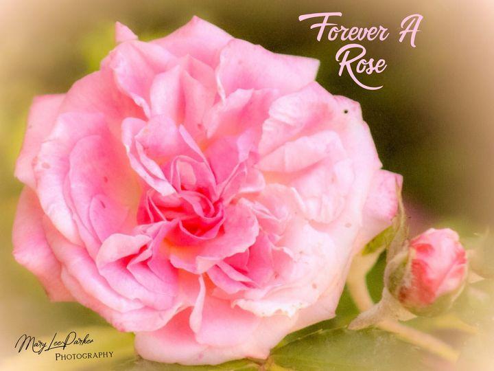 Forever A Rose - MaryLeeParkerArt