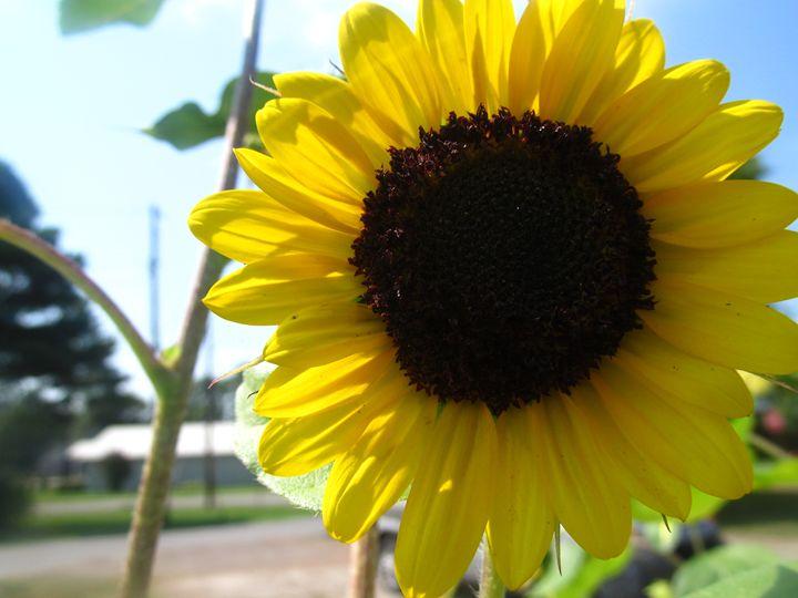 sunflower - american beauty