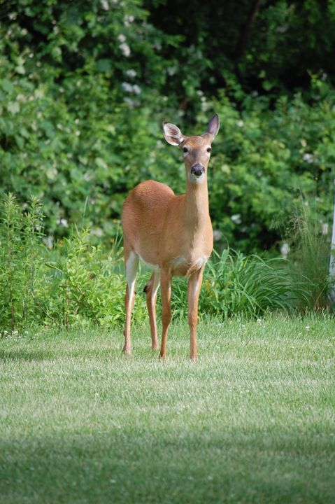 Doe a deer - Christine's gallery
