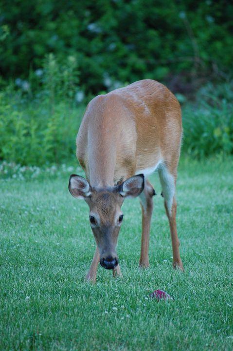 Darling deer - Christine's gallery