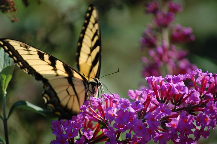 Eastern Tiger Swallowtail butterfly - Christine's gallery