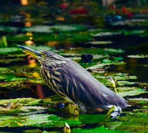 Focused heron