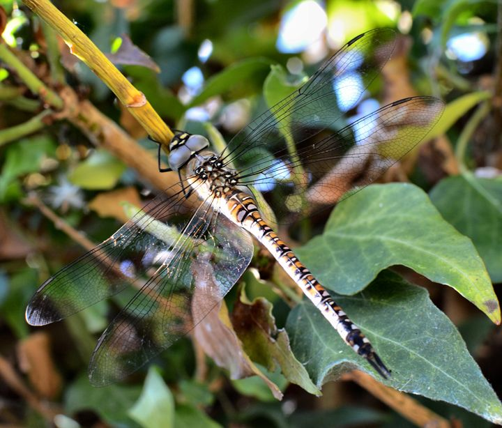 dragonfly resting in ivy - kdw712