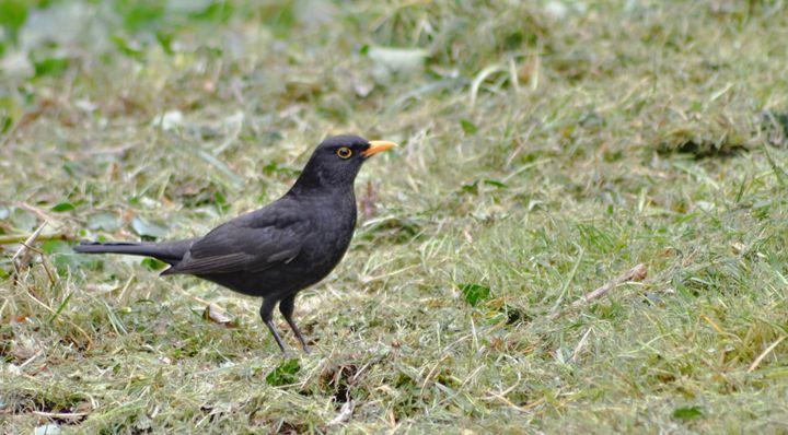 blackbird on the grass - kdw712
