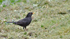 blackbird on the grass - kdw712