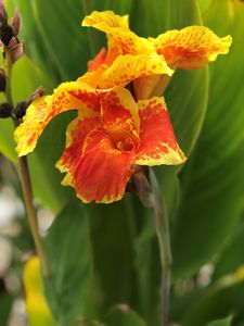 Yellow and Orange canna lily