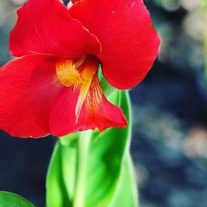Red lily 1