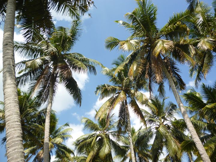Coconut palms - Chand Ran