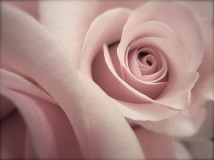 soft pink rose - Terry Meyers