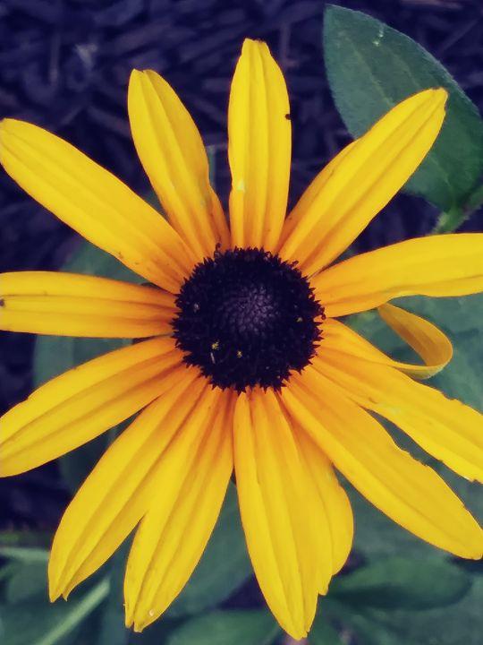 Sun flower - Nature lover
