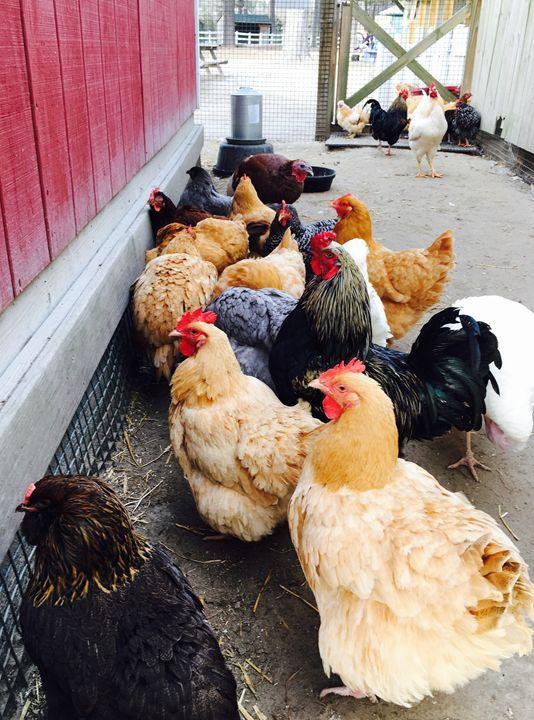 Winter Chicks 2016-02 - Diane Ong