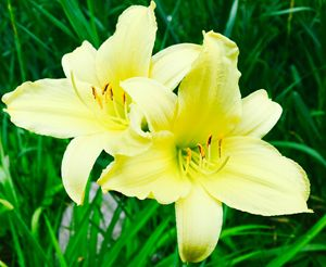 Pastel Yellow Lily