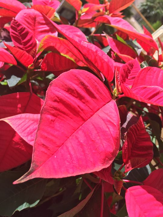Poinsettia Love - Jeanné Wynne Herring