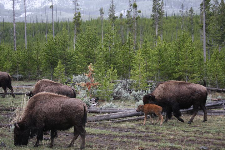 Bison herd with Baby - Cheri Lee Photography