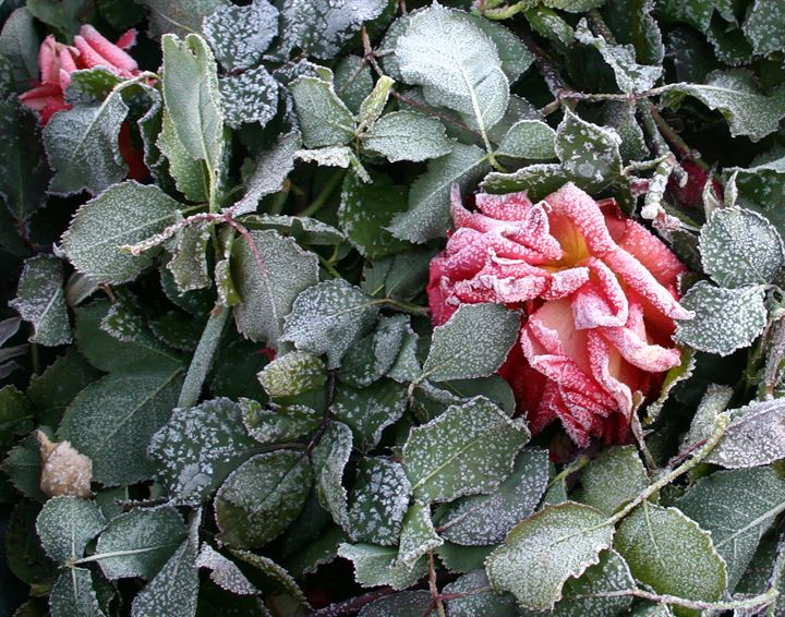 Frosty Rose - Cheri Lee Photography