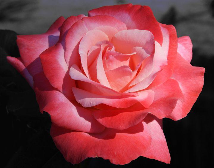 Varigated Rose - Cheri Lee Photography