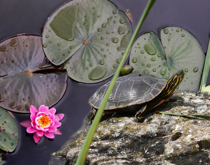 Turtle with Lily pads - Cheri Lee Photography