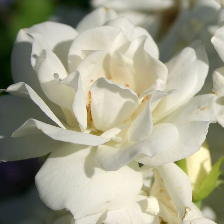 White Rose - Cheri Lee Photography