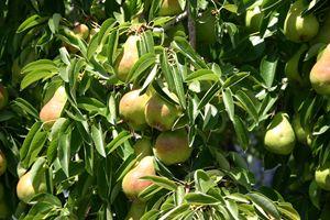 Pears Ripe on Tree