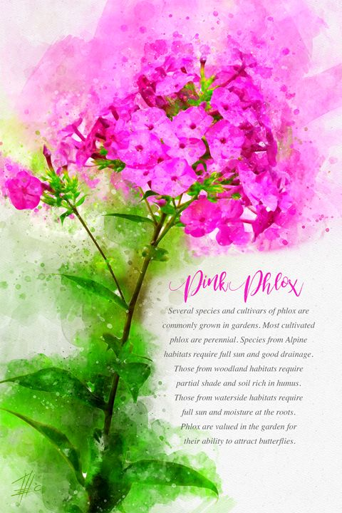 Pink Phlox - Theodor Decker