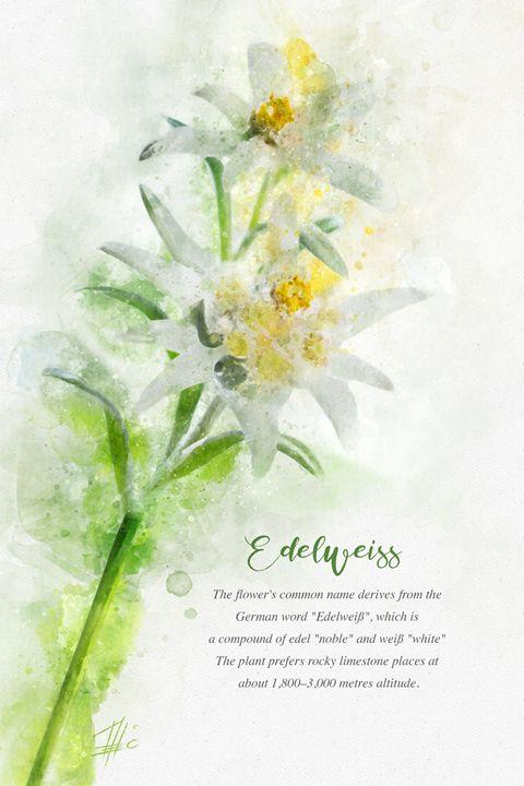 Edelweiss - Theodor Decker