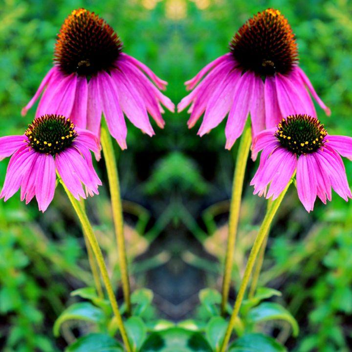 Double Pink Sunflower - TMphotographyBaltimore