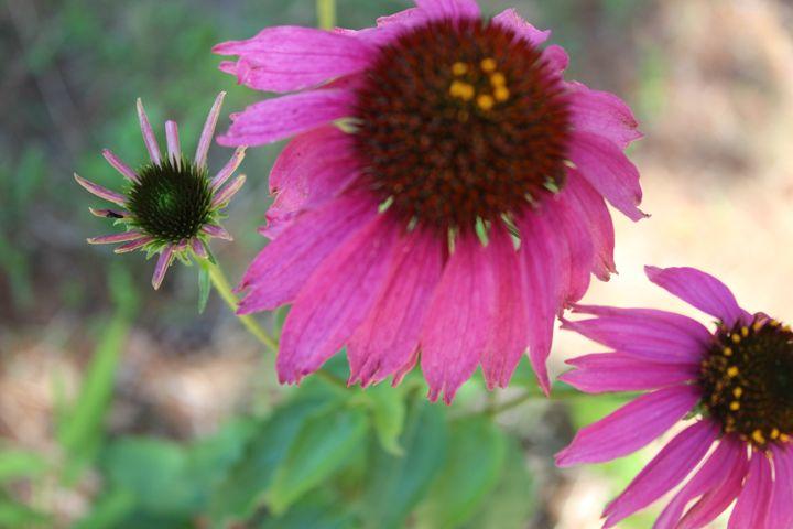 Pink Sunflower - TMphotographyBaltimore