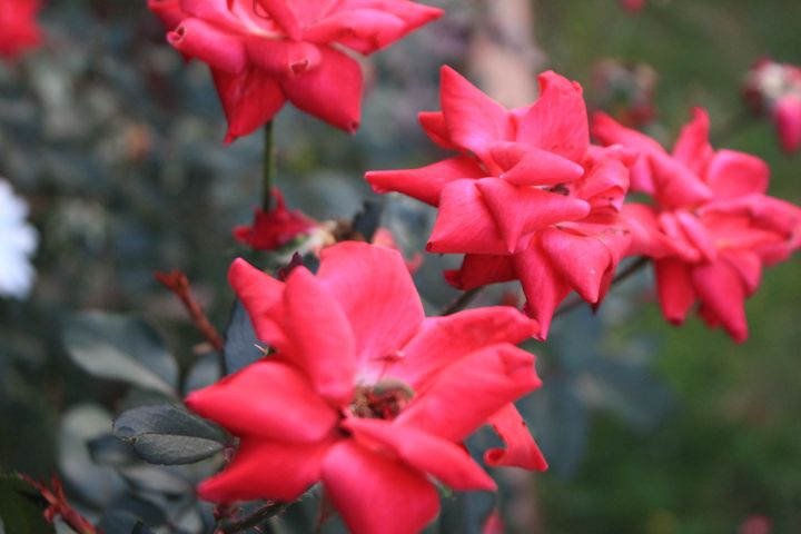Pink Flowers - TMphotographyBaltimore