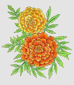 Marigolds - Lull
