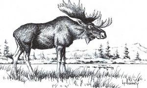 Bull Moose - Heaney Art Gallery