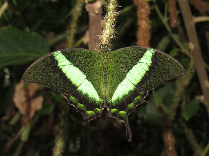 Reflective Green Butterfly - Laughing Bugbear
