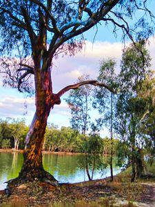Murray River Tree