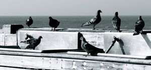 Pigeons on the Pier - AK Arts