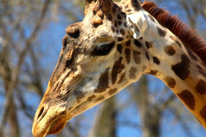 Giraffe - AK Arts