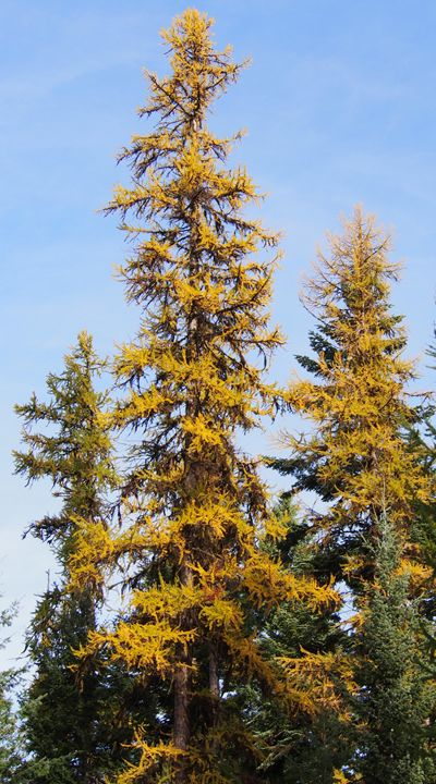 Yellow Western Larch Trees - Dark Forest Creature - photography and painting