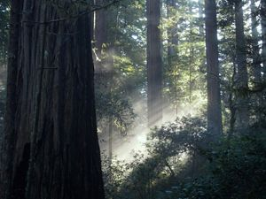 Sun in Redwoods