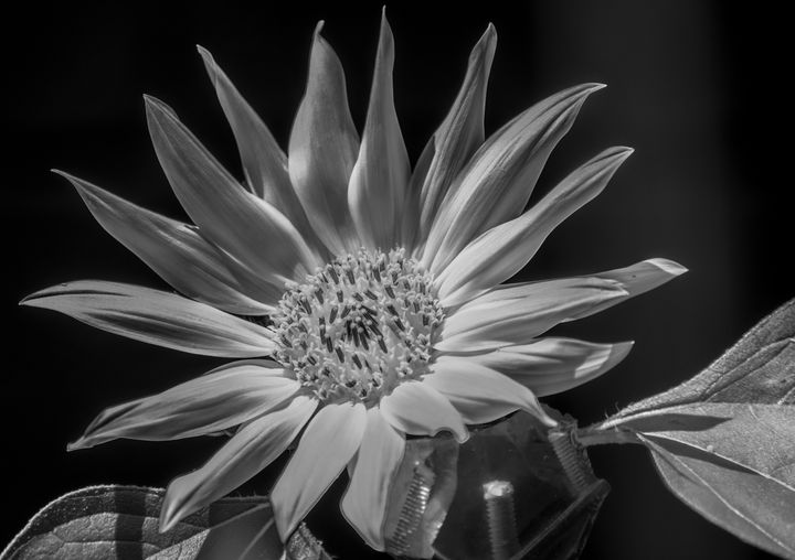 Sunflower in Black and White - Doodles and Photos by Michele Wish