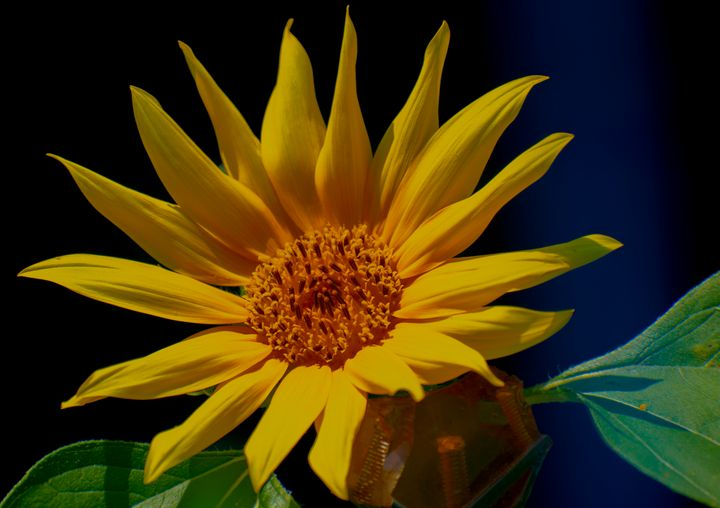 Sunflower in Color - Doodles and Photos by Michele Wish