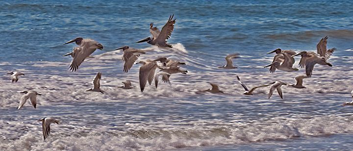 Pelicans and Seagulls in Flight - Doodles and Photos by Michele Wish