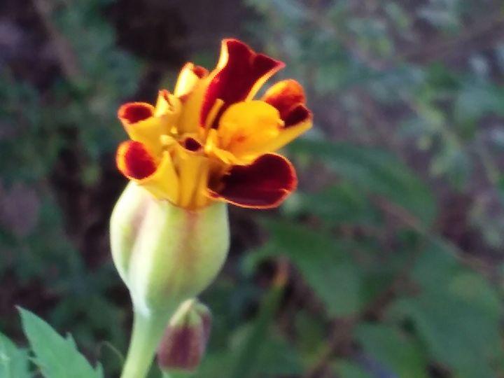 Marigold bud in October - NEEDED ART BY LENA