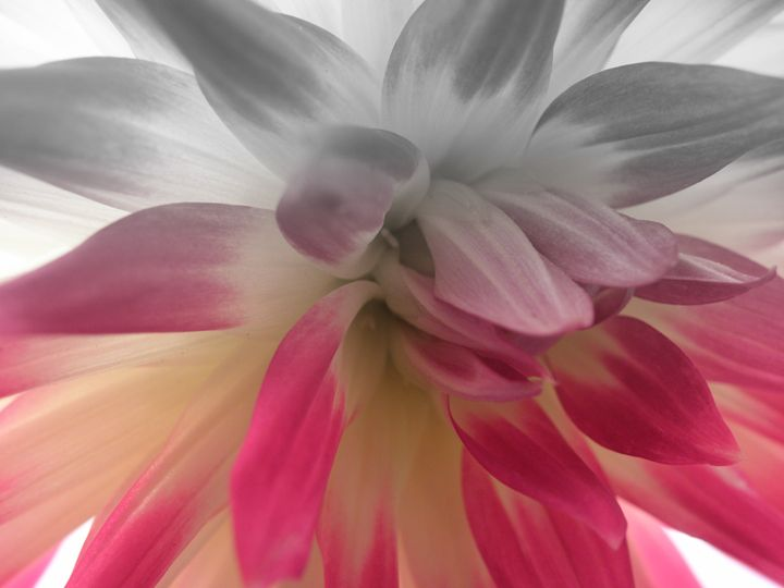 Fading Dahlia - Photography by Trisha Allard