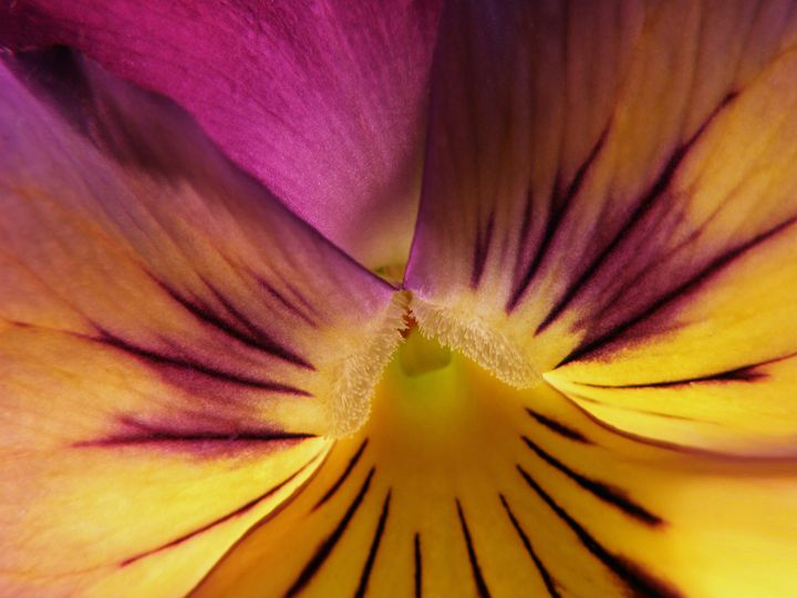 Pansy Abstract - Photography by Trisha Allard