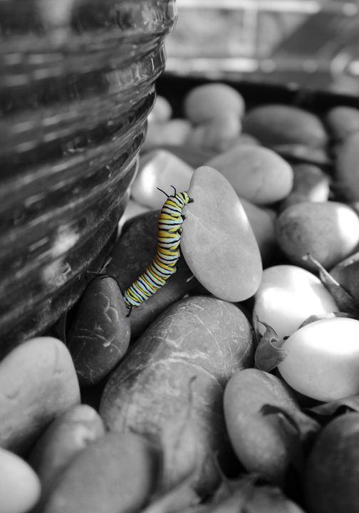 Monarch Caterpillar - Photography by Trisha Allard