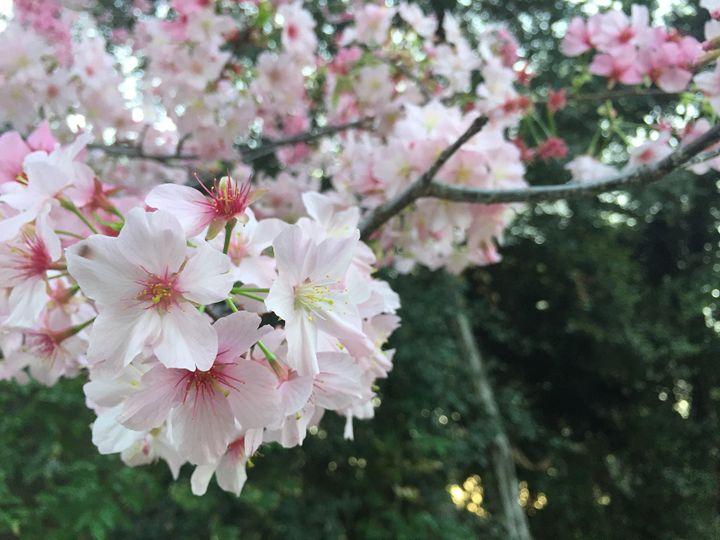 Sakura - Elenzada