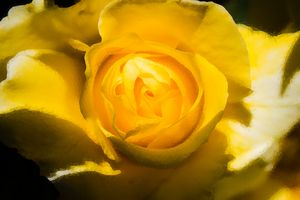 Yellow Rose 2 - Jeremiah Tarango , Avenue Abstract