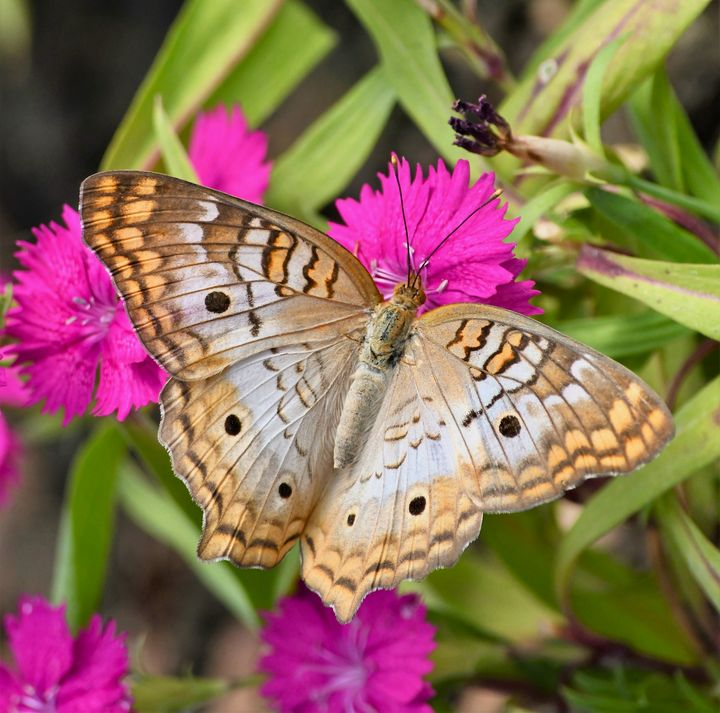 White Peacock Butterfly on Flowers - RMB Photography