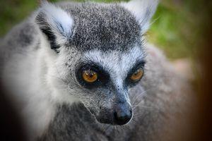 Closeup of a Ringtailed Lemur - RMB Photography