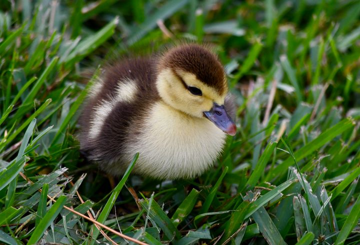 Daisy's Duckling - RMB Photography