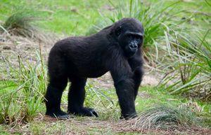 Grinning Gorilla - RMB Photography